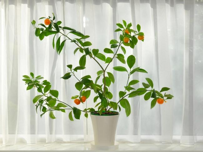 Cultiva frutas cítricas en tu casa u oficina